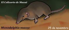 El colicorto de Macaé