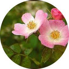 L'huile de rosier muscat bio est cicatrisante et réparatrice. Le rosier muscat, qui pousse à l'état sauvage sur le continent américain et notamment au Chili, est un proche cousin de l'églantier.