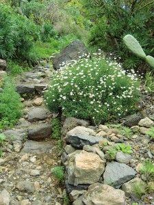 Weg durch den Barranco Ruiz. mit #Margarite (Argyranthemum gracilis)