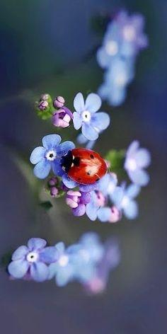 Coccinelle sur fleur bleue