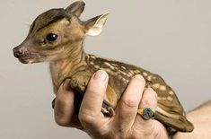 A tiny baby muntjac deer being held in one hand
