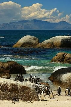 Penguins at Boulders Beach, South Africa (by ryantastad). Penguins at Boulders Beach, South Africa (by ryantastad). Places To Travel, Places To See, Beautiful World, Beautiful Places, Beautiful Beach, Places Around The World, Around The Worlds, Fauna Marina, Boulder Beach