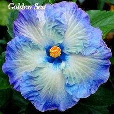 Hibiscus rosa sinensis - How to grow & care Growing Hibiscus, Hibiscus Plant, Hibiscus Flowers, Exotic Flowers, Tropical Flowers, Amazing Flowers, Beautiful Flowers, Blue Hibiscus, Cactus Flower