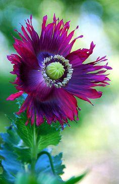 Poppy 'Heirloom' ~ 1st Flower of its kind this Season by stevetoearth on Flickr