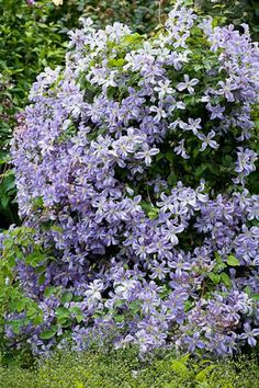 Clematis'Prince Charles'