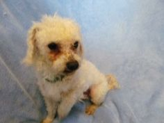 PARTNERS FOR PETS Troy, IL 6229401/17/14 Ripley is guessed to be a 3-4 year old, white miniature poodle. He and his brother, Watson, were rescued from Madison County Animal Control. Riley is a sweet boy, quiet and good with other dogs. He is neutered, current on vaccinations,...