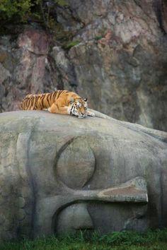 Tigre descansando sobre uma cabeça de Buda.