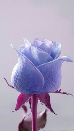 the rarest of them all Beautiful Rose Flowers, Exotic Flowers, Amazing Flowers, Beautiful Flowers, Beautiful Pictures, Rare Roses, Rosa Rose, Flower Wallpaper, Rose Buds