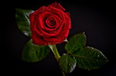 Red Rose - Flowers Wallpaper ID 1175976 - Desktop Nexus Nature