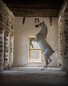 Tammam Albadeia (Simeon Sharav x Tamima Albadeia by Bar Sama Halim) 2005 grey SE stallion bred by Al Badeia Stud, Egypt