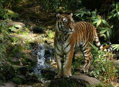Tg Nbg           Tiger                           121008 | by Eddy L.