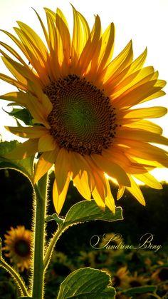 Sunflower against the light by Sandrine Bing on 500px