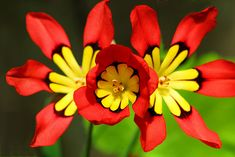 Harlequin flower, non native. Like most South African bulbs thrives in our hot dry climate.