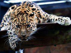 mała pantera, nie wygląda tak groźnie ;))