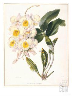 Botanical Watercolour: Orchid, Dendrobium Farmerii Giclee Print by Samuel Holden at Art.com