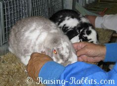 Conditioning Rabbits for Show: your show rabbits have a chance of winning with top body and fur condition. How to condition show rabbits including wool and Rex