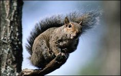 The Squirrel  This animal's dogged persistence and impeccable memory have made it the nemesis of gardeners throughout its vast range. Most squirrels display an impressive array of tricks and strategies that help them survive.