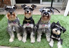We are watching you! We have four adorable Miniature Schnauzers. Mr. Bo Daniels, Miss Mini Pearl, Daisy May Daniels and our new addition Miss Honey Boo. She is the Daughter