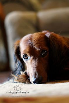 This could so be my doxie Kirby.  We had him for 15 years and we still miss him.