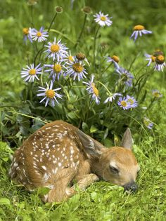 Each year, The Wildlife Sanctuary rescues, raises and releases dozen of injured or orphaned whitetail deer fawns. Sleepy Animals, Cute Baby Animals, Animals And Pets, Animals Images, Nature Animals, Animal Pictures, Wild Life Animals, Beautiful Creatures, Animals Beautiful