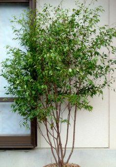 ハイノキ Exterior, Plants, Trees, Gardening, Tree Structure, Lawn And Garden, Plant, Outdoor Rooms, Wood