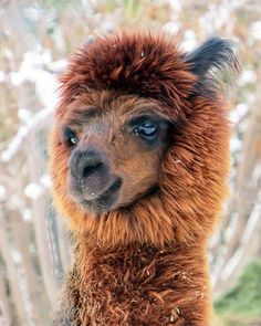 Alpaca- i love these little guys :3 big sparkly cartoon like eyes, fluffy soft wool, and they make the cutest noise :)♥