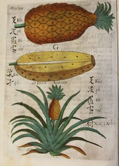 Pineapple botanical from Flora Sinensis, Fructus Floresque Humillime Porrigens. The Flora Sinensis is one of the rarest and earliest European works on the natural history of China, published by Michael Boym, Vienna, 1656