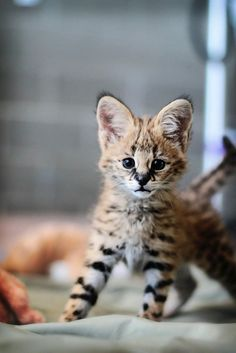 Serval cub - Not an often seen shot of these relatively unknown Felines!
