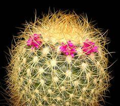 Mammillaria rhodantha cactus Cacti And Succulents, Planting Succulents, Cactus House Plants, Cactus Planta, Houseplants, Roots, Dandelion, Flora, Herbs