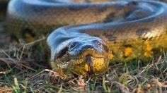 A green anaconda (Eunectes murinus) (Credit: Christophe Courteau/naturepl.com)