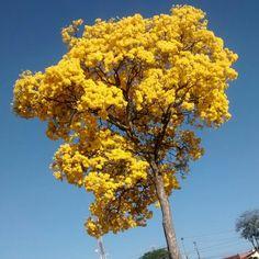 Flores! Ipê Amarelo. São José dos Campos. São Paulo, Brasil.