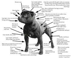 Staffordshire Bull Terrier rasstandaard.
