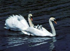 HerbWeb Swans: photograph of swans and cygnets