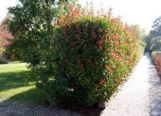 Le piante adatte alla realizzazione di siepi sono molte, alcune ...