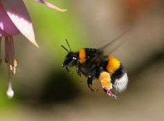 John Ingham on hummingbird hawk moths, bumblebees, buzzards and ...