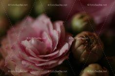 Blüte Pfingstrose