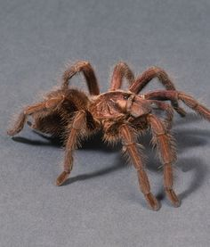 Dutch Customs Find Hundreds of Tarantulas in Suitcase