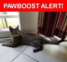 Is this your lost pet? Found in Plantation, FL 33317. Please spread the word so we can find the owner!  this cat has been found for about a month near 441 and 595  Nearest Address: Near SW 40th Ave & SW 2nd Ct