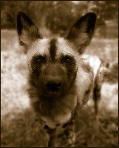 #Wild dog  Like,Repin,Share, Thanks!