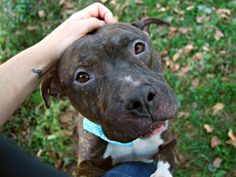 Manhattan Center ROMAN – A1093379  MALE, BROWN / WHITE, PIT BULL MIX, 1 yr STRAY – STRAY WAIT, NO HOLD Reason STRAY Intake condition UNSPECIFIE Intake Date 10/14/2016, From NY 10460, DueOut Date ,