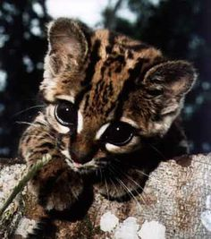 Baby ocelot...how could you not want one of these