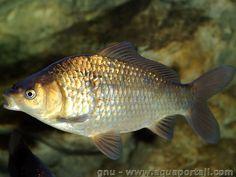 Carassius carassius : Carassin commun Aquascaping, Betta, Freshwater Fish, Aquarium Fish, Goldfish, Animals And Pets, Fresh Water, Ponds, Addiction