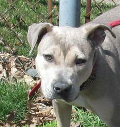 JUNE...FOUND IN CANTON, OHIO...NOW ADOPTABLE!!! Meet 08 June a Petfinder adoptable Terrier Dog | Canton, OH | Release date 4/21.  June looks like she could be related to a dog at the pound not long ago, you...