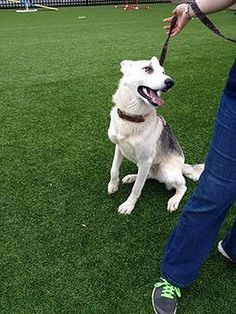 Check out Mia's profile on AllPaws.com and help them get adopted! Mia is an adorable Dog that needs a new home. https://www.allpaws.com/adopt-a-dog/german-shepherd-dog/1643590?social_ref=pinterest