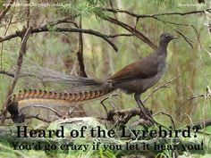 Is that my car alarm? No, its the Lyrebird! The Lyrebird is the most proficient audio mimic the world has seen. Besides copying the songs of other birds, it can copy the sounds of car alarms, construction equipment, gunshots, dogs barking, musical instruments and even people. It is said that this bird can imitate human sounds better than most humans can. The bird has talent and a sense of humour, don't you think?  Visit www.shriramchirpingwoods.com to live in a bird friendly neighbourhood.