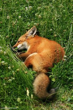 Sleeping Fox photography. Look at that cute curly Q tail!