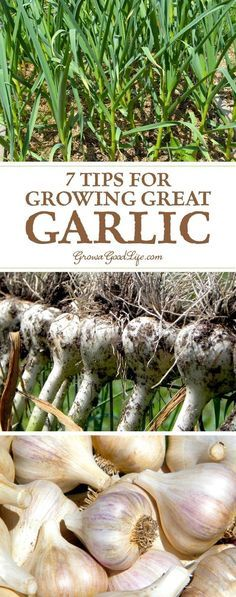 Urban Garden With a little planning at planting time, garlic is one of the most trouble-free crops you can grow in the garden. Here are some tips for growing garlic. Small Backyard Gardens, Backyard Garden Design, Rustic Backyard, Large Backyard, Growing Herbs, Growing Vegetables, Growing Ginger, Growing Gardens, Pot Jardin