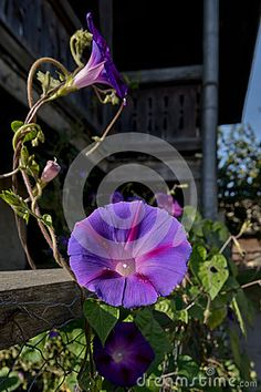 Photo about Morning glory purple flower, rural scene in home garden countryside retro. Image of growth, blossom, green - 42335078 Photos For Sale, Stock Photos, Purple Flowers, Countryside, Vectors, Home And Garden, Scene, Retro, Plants