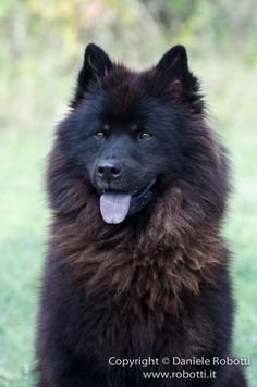 seems that if i ever want to get a dog, i should get either a chesapeake bay retriver or this little beautiful fella, an eurasier Black Dogs Breeds, Dog Breeds, I Love Dogs, Cute Dogs, Cute Funny Animals, Teddy Bear Dog, Dog Varieties, Snow Dogs, Fauna