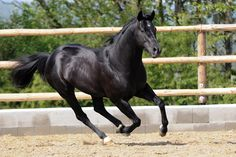 SMOOTH COOL CAT | Silverstone Ranch, black Quarter Horse stallion